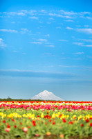 Wooden Shoe Tulip Farm, Oregon
